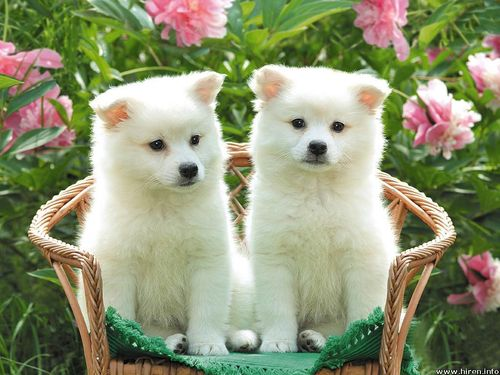 white puppies large Desktop Wallpapers  Animals Backgrounds  White Puppies  www.hiren.info