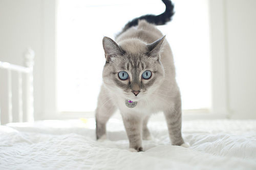 bed, blue, bright, cat, eyes - inspiring picture on Favim.com