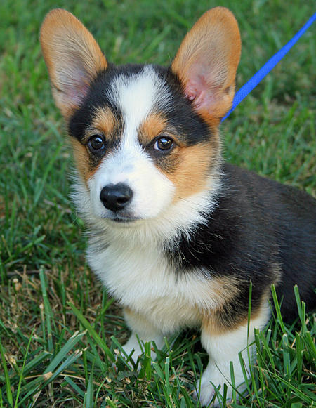 miles the pembroke welsh corgi 4 65744 2012 05 08 w450 large Miles the Pembroke Welsh Corgi | Puppies | Daily Puppy
