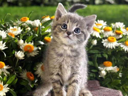 Tabby Kitten and Spring Flowers.img assist custom large Beauty & the Beasts: 15 Animals Who Love Flowers