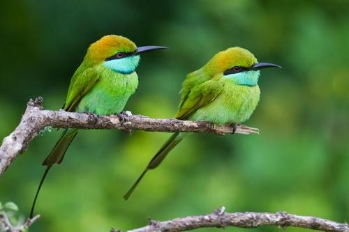 Green_bee_eaters_large_large