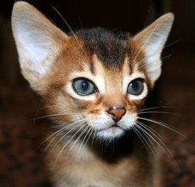 abyssinian kitten large Abyssinian Cat Breed   Cat Information & Pictures