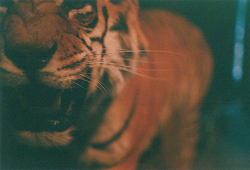 Animal_na_natureza_selvagem_tigre_growl_tiger_angry-64d8652543efe53bf9ad6228c33db1bf_h_large