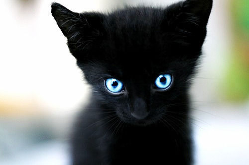 adorable-black-cat-blue-eyes-cat-cute-Fa