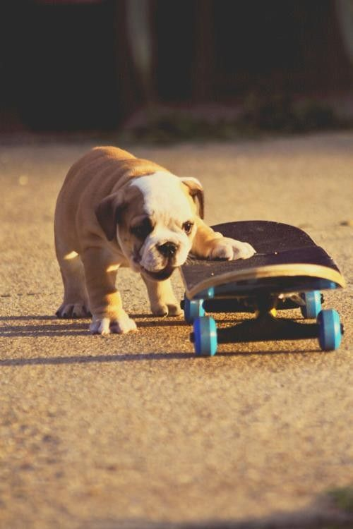 186617978279440230 XmQgN2MZ c large Dogs / Skateboard