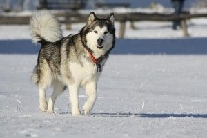 Alaskan Malamute Biyaalsm Attk9 300x200 large Alaskan Malamute | Welcome to Our World of Dogs