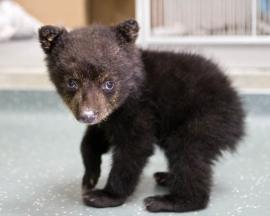 H orig bearcubsmallbaby large Keeper tends to young bear cub removed from woods | Oregon Zoo