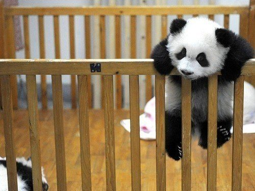 Baby-animal-baby-panda-cute-panda-photography-favim.com-433643_large