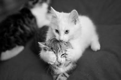 Beautiful-black-and-white-cat-cute-favim.com-434559_large