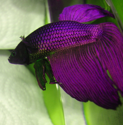 betta on pinterest betta fish siamese and half moons