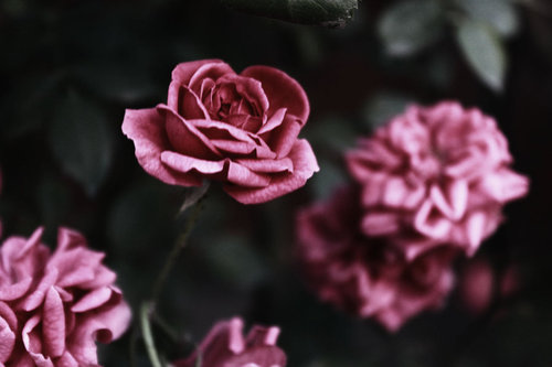 Roses_by_nimta-d51efps_large