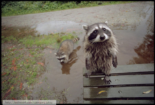 Amazing puppy face of a raccoon large Amazing puppy face of a raccoon! | Techmorf