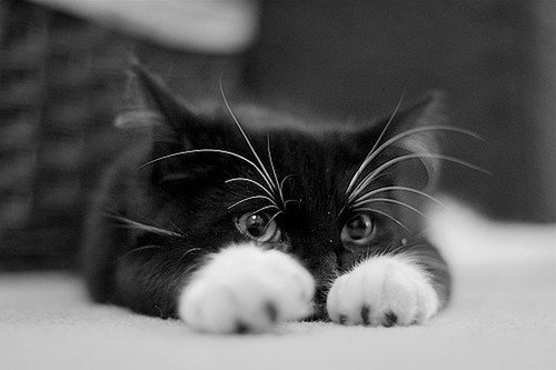 cute cat black white cat cute paws photo a966d93a53edd4728202920b20aebbfd h large His Secret Love   ~Chapter 3~ | Story | Quotev
