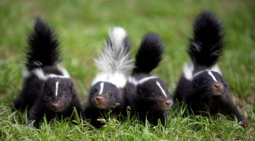 Skunk | Flickr - Photo Sharing!