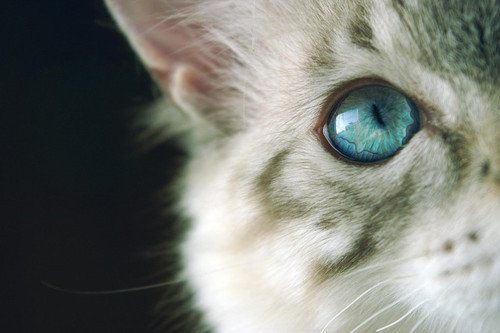 Animal-blue-cat-cute-eye-favim.com-437202_large