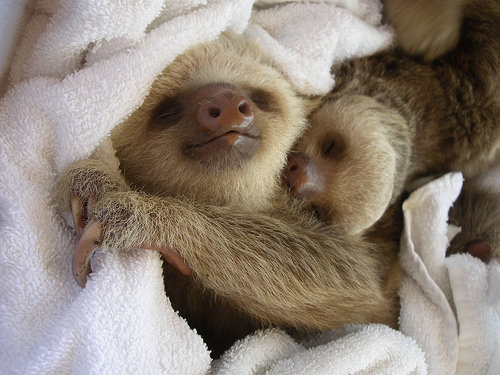 Baby-sloth-napping_large