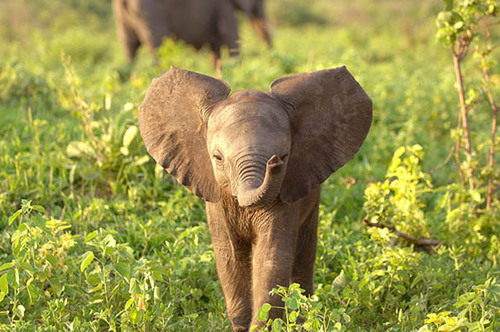 Adorable-baby-elephant-1_large