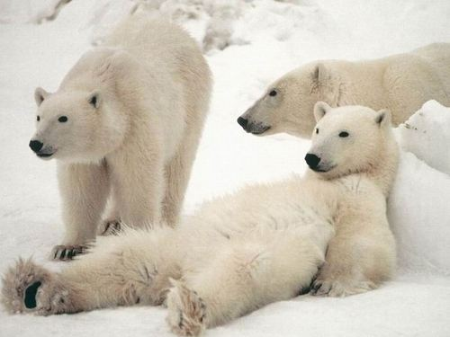 White_20polar_20bear_20relax_large
