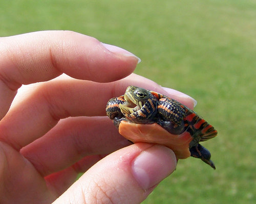 I am a vicious turtle by *WeirdBugLady