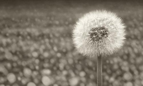 Bampw-beautiful-black-and-white-cute-dandelion-favim.com-439924_large