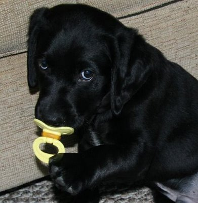 black lab puppy pacifier 2 large Google Image Result for http://2.bp.blogspot.com/ xPCNXK3DEQg/Sd7nRkJnAyI/AAAAAAAACL0/Fjr0yb2tJCc/s400/black lab puppy pacifier 2.jpg