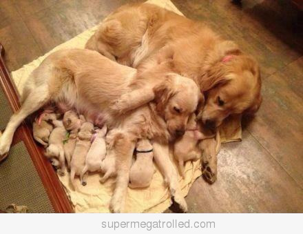 Puppies on Just Puppies With Their Mom And Grandma On We Heart It   Visual