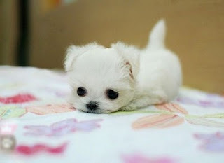 Worlds-cute-tiny-puppies-6_large