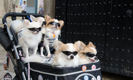 Japans pampered pet dogs 008 large Why Japan prefers pets to parenthood | Life and style | guardian.co.uk