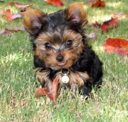 us arts crafts.44664.1 large Free to good home Adopt Your Yorkie Puppy Today