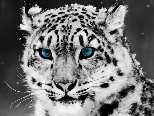 snow leopard 1600 1200 3780 large Snow leopard   Bing Images