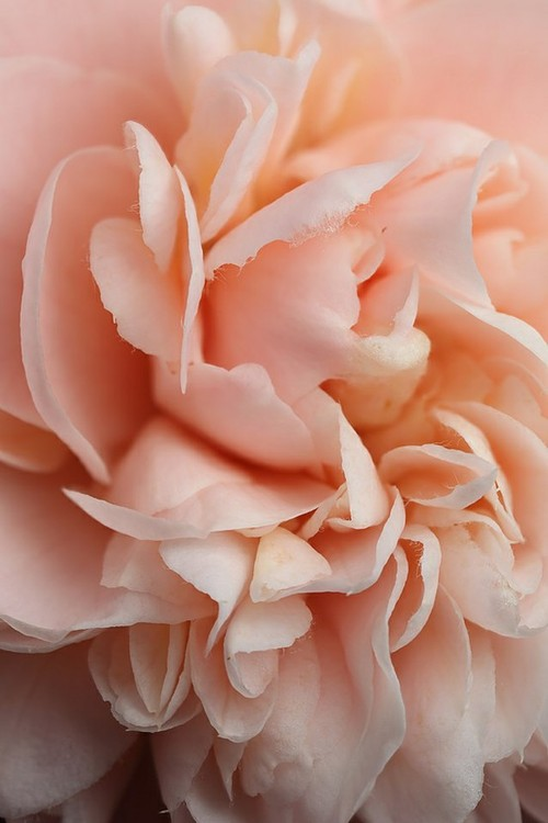 grow / pretty blush pink rose