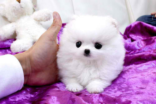 Animal-cute-dog-hello-dog-pomeranian-favim.com-136507_large