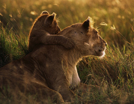 Lion-mother-and-cub-hug-thumb_large