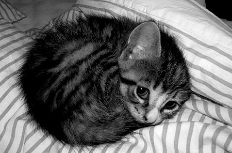 Black-and-white-cat-cute-favim.com-449391_large
