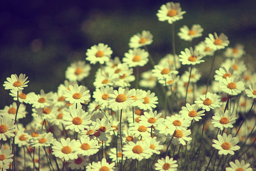 Beautiful-chamomile-dream-flowers-girl-favim.com-449199_large