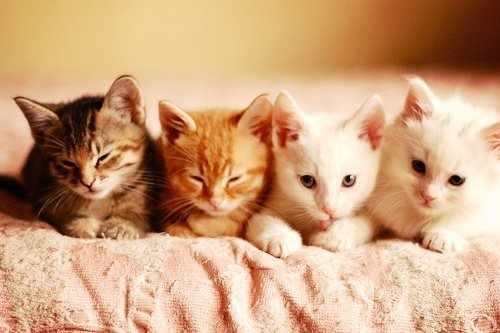Cat-cats-cute-lovely-favim.com-449760_large
