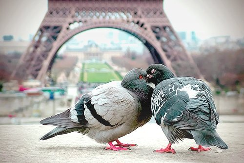 Adorable-birds-cute-dove-eiffel-tower-favim.com-449909_large