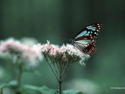Butterfly_54_large