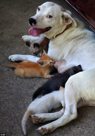 Bulldog Adopts Litter of Orphaned Kittens | Parenting - Yahoo! Shine