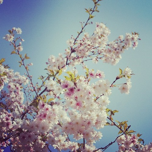 @tiffanyhuston | #pink #flowers #tree #love #blue #sky #summer #denmark #beautiful #weather #… | Webstagram – the best Instagram viewer