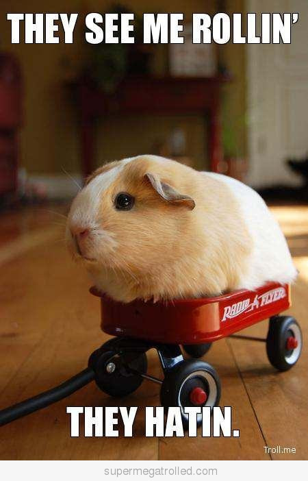 Gangsta-guinea-pig-is-gangsta_large