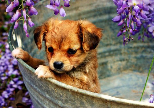 Brown-cute-puppy-purple-favim.com-452590_large