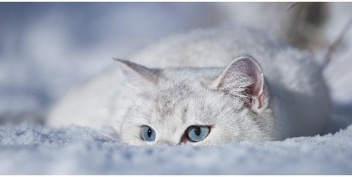 Cat_gorgeous_kitty_snow_winter-5cfc13489b32e718f89952242fe69909_h_large