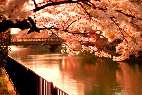 Spring_cherryblossm_cherry_blossom_nature_scenery_art-e2ddfbabc9499f3a7c61769d00b55f2e_h_large
