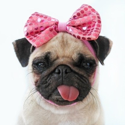 Funny  Pictures Free on Funny Pug Dog Imagem Royalty Free   Getty Images Portugal   107599385