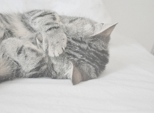 Cat,Cute,Gray,