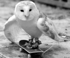Black-and-white-owl-skate-board-favim.com-455621_thumb_large
