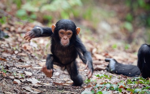 Chimpanzee-walking_2273617k_large