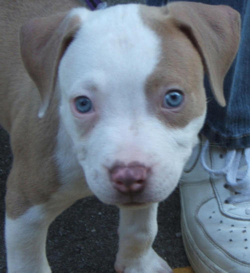 Red-nosed-pitbull-puppies-for-sale_large