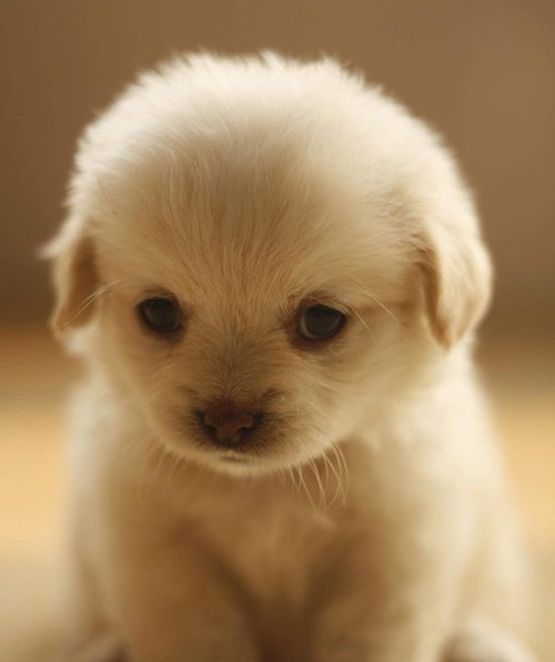 Animal-cute-love-puppy-favim.com-458044_large